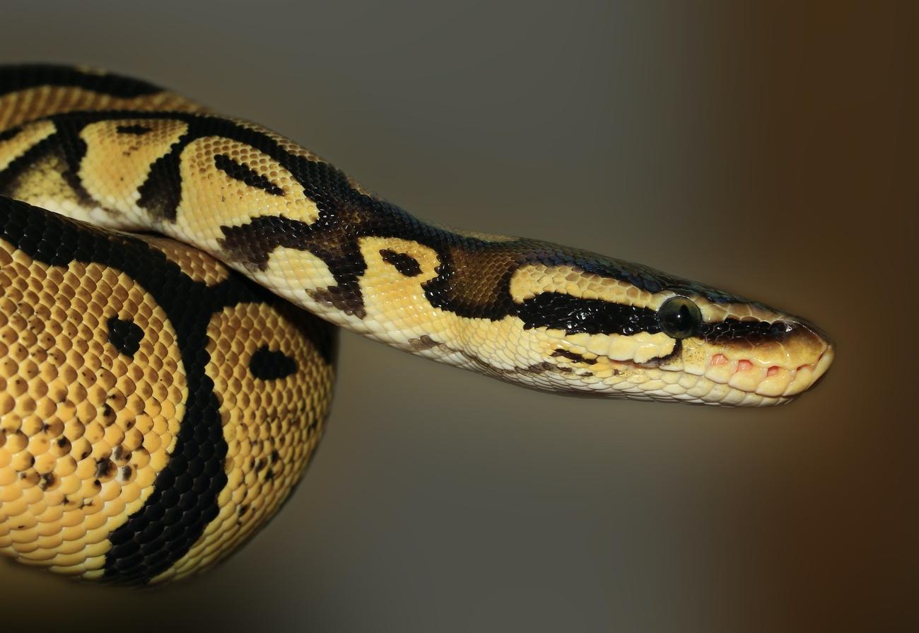 ヘビの特徴と効果的な駆除対策とは?